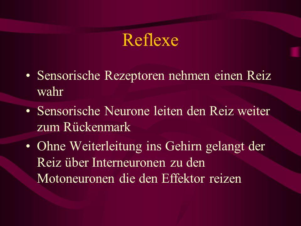 Reflexe Sensorische Rezeptoren nehmen einen Reiz wahr