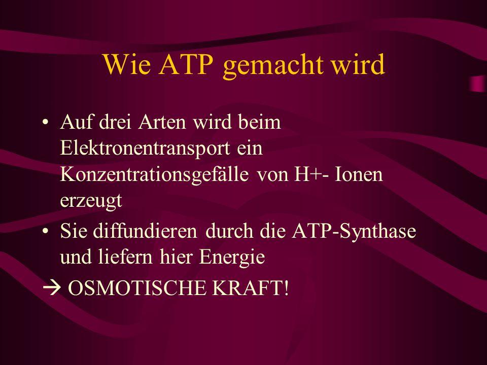 Wie ATP gemacht wird Auf drei Arten wird beim Elektronentransport ein Konzentrationsgefälle von H+- Ionen erzeugt.