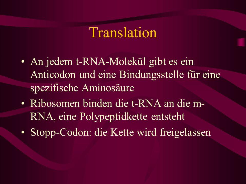 Translation An jedem t-RNA-Molekül gibt es ein Anticodon und eine Bindungsstelle für eine spezifische Aminosäure.