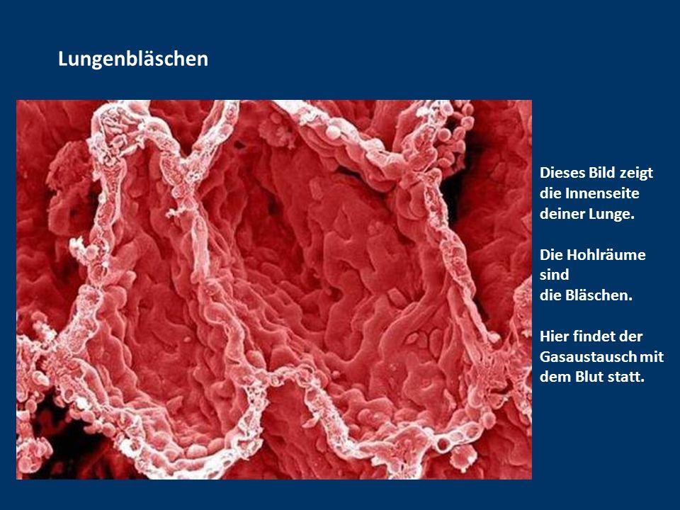 Lungenbläschen Dieses Bild zeigt die Innenseite deiner Lunge.