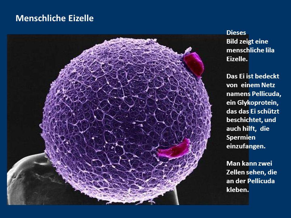 Menschliche Eizelle Dieses Bild zeigt eine menschliche lila Eizelle.