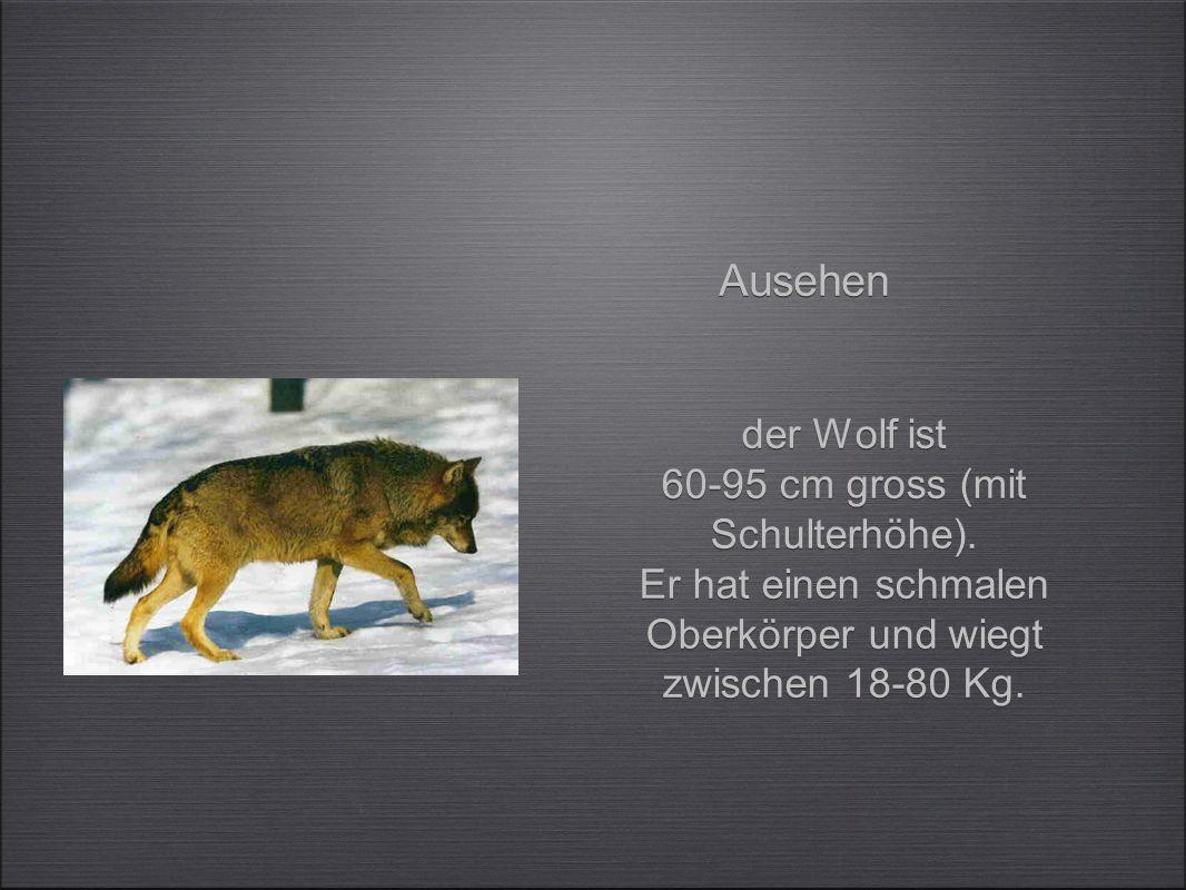 Ausehen der Wolf ist 60-95 cm gross (mit Schulterhöhe).