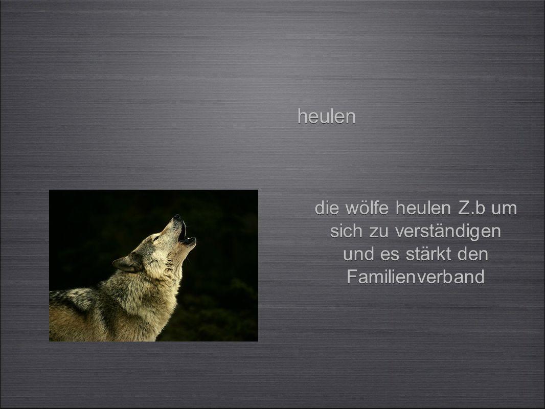 heulen die wölfe heulen Z.b um sich zu verständigen und es stärkt den Familienverband