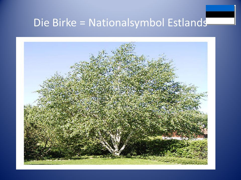 Die Birke = Nationalsymbol Estlands
