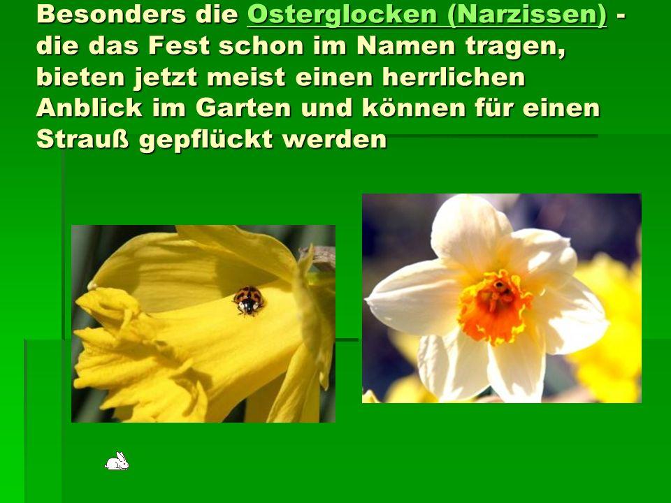 Besonders die Osterglocken (Narzissen) - die das Fest schon im Namen tragen, bieten jetzt meist einen herrlichen Anblick im Garten und können für einen Strauß gepflückt werden