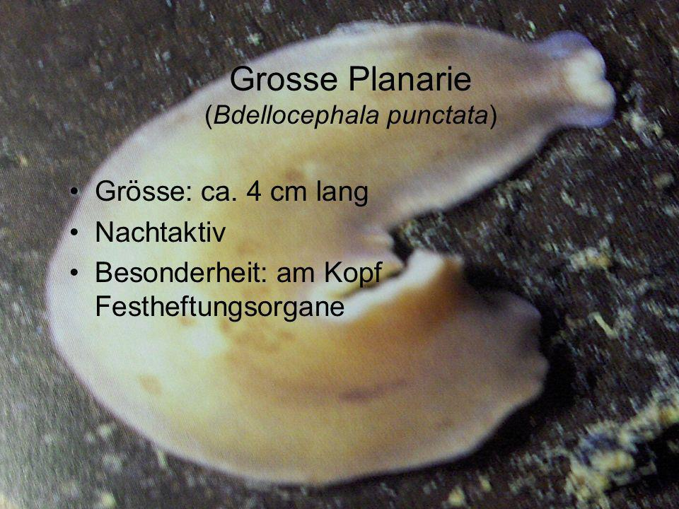 Grosse Planarie (Bdellocephala punctata)