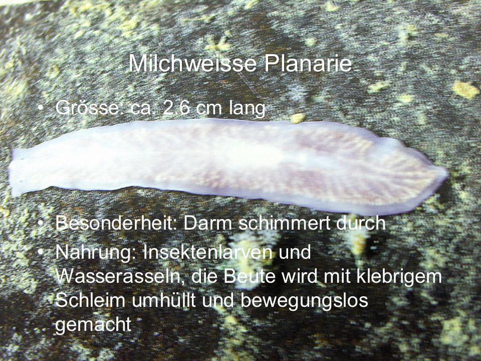 Milchweisse Planarie Grösse: ca. 2.6 cm lang