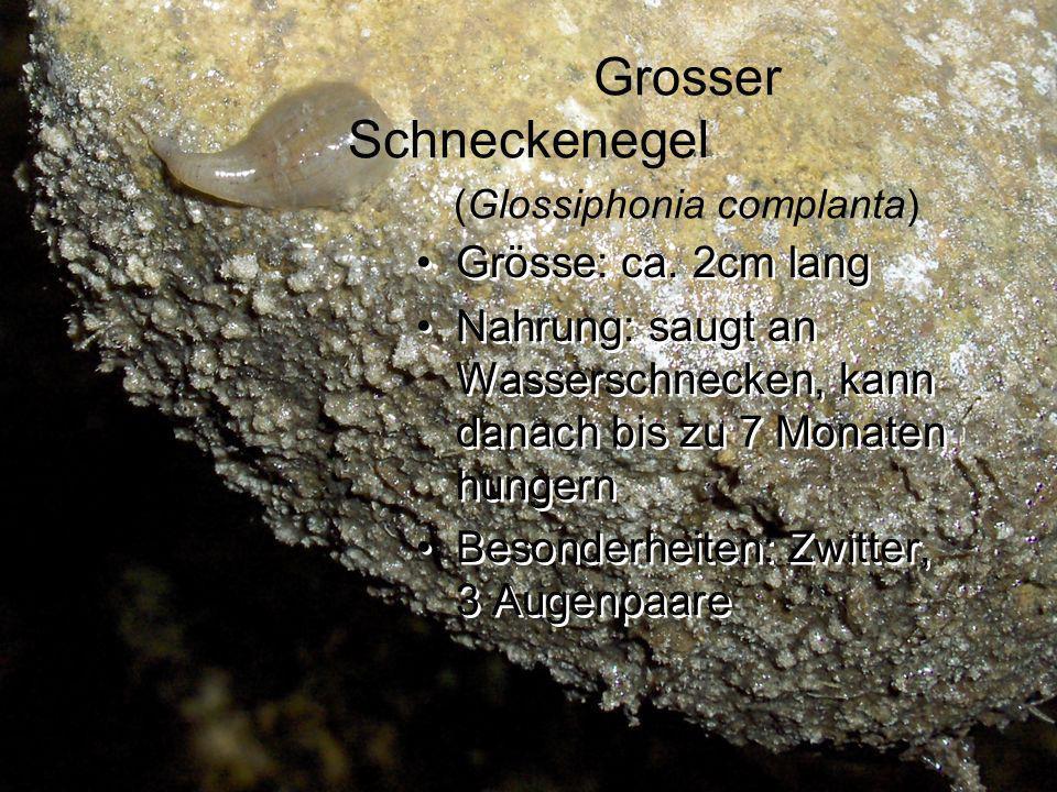 Grosser Schneckenegel (Glossiphonia complanta)