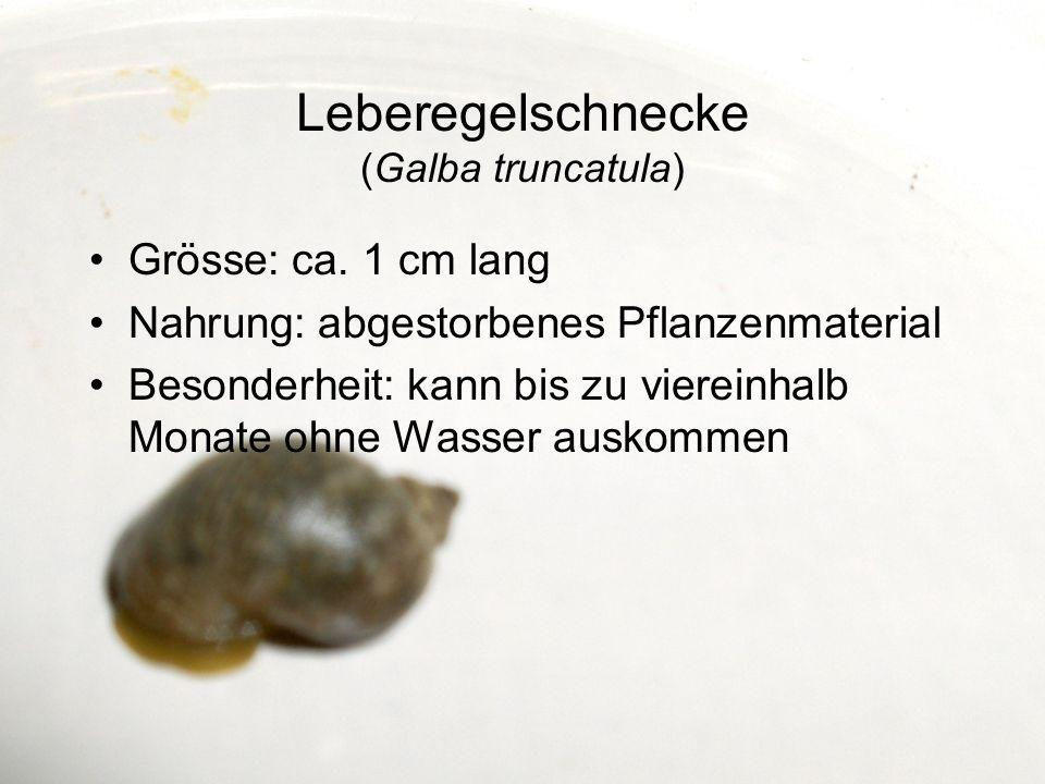 Leberegelschnecke (Galba truncatula)