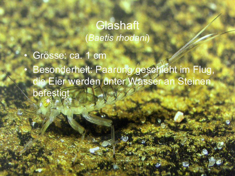 Glashaft (Baetis rhodani)