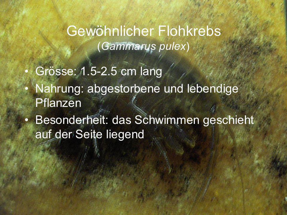 Gewöhnlicher Flohkrebs (Gammarus pulex)