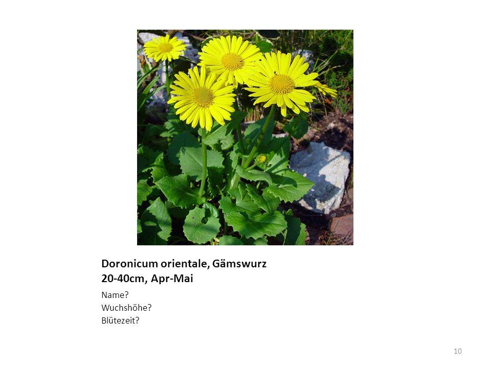 Doronicum orientale, Gämswurz 20-40cm, Apr-Mai