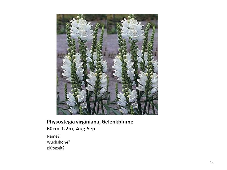 Physostegia virginiana, Gelenkblume 60cm-1.2m, Aug-Sep
