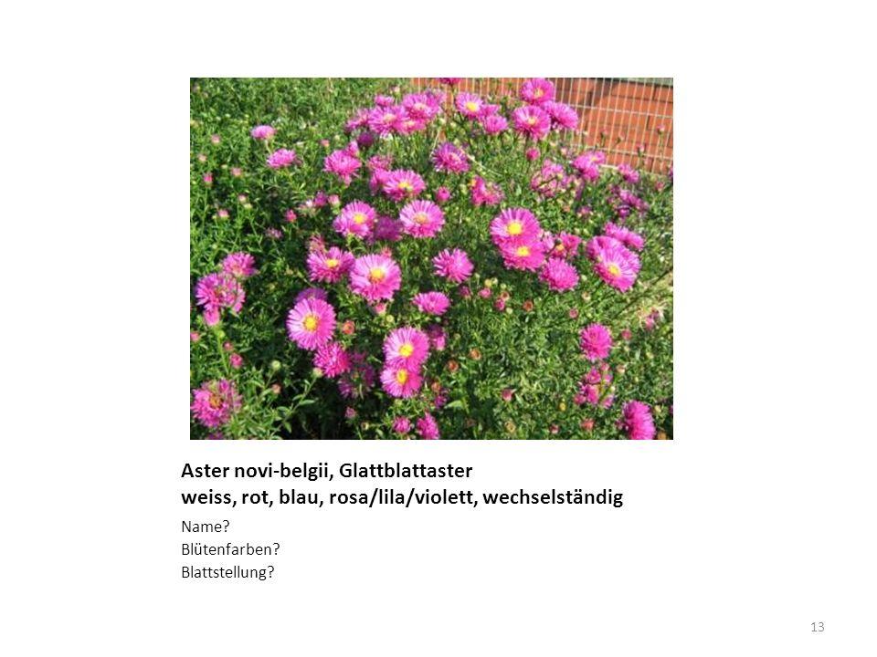 Aster novi-belgii, Glattblattaster weiss, rot, blau, rosa/lila/violett, wechselständig