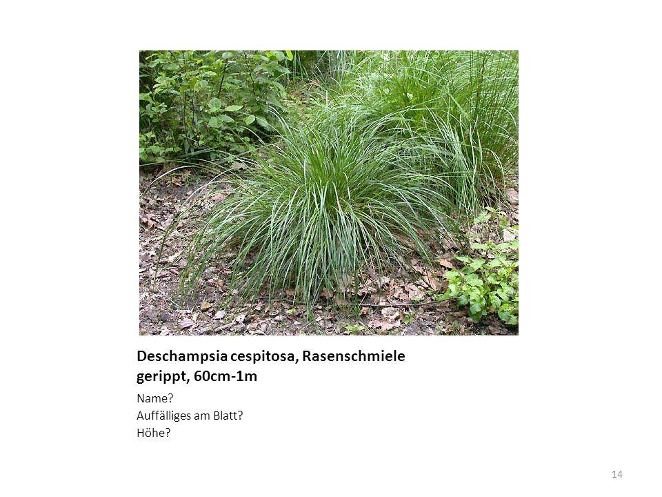 Deschampsia cespitosa, Rasenschmiele gerippt, 60cm-1m