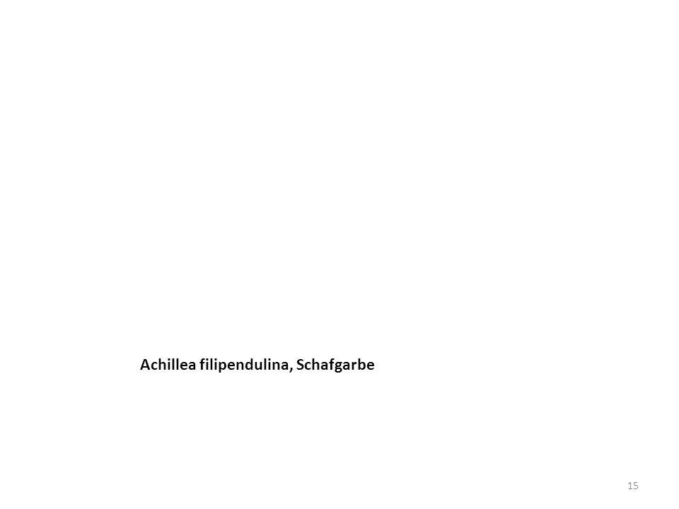 Achillea filipendulina, Schafgarbe