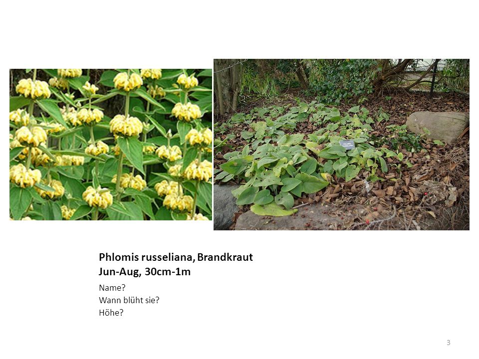 Phlomis russeliana, Brandkraut Jun-Aug, 30cm-1m