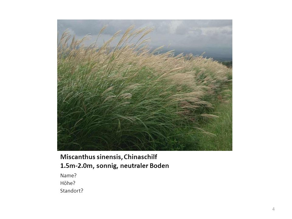 Miscanthus sinensis, Chinaschilf 1.5m-2.0m, sonnig, neutraler Boden
