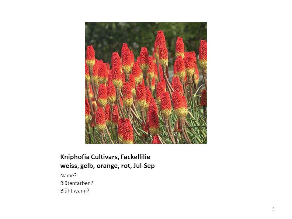 Kniphofia Cultivars, Fackellilie weiss, gelb, orange, rot, Jul-Sep