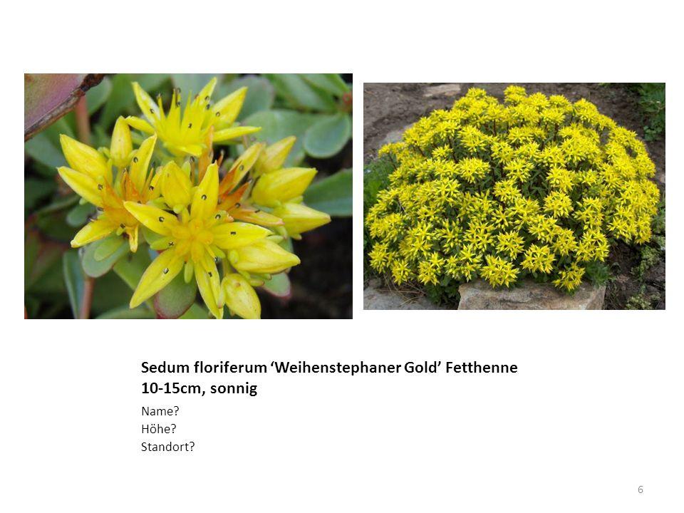 Sedum floriferum 'Weihenstephaner Gold' Fetthenne 10-15cm, sonnig