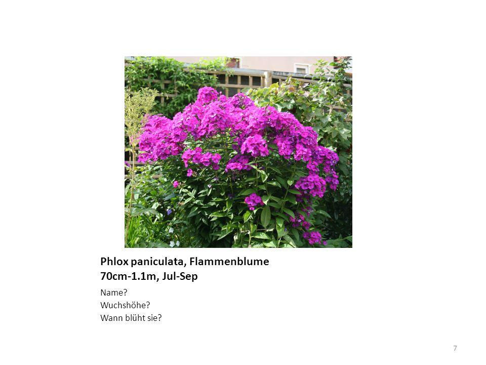 Phlox paniculata, Flammenblume 70cm-1.1m, Jul-Sep