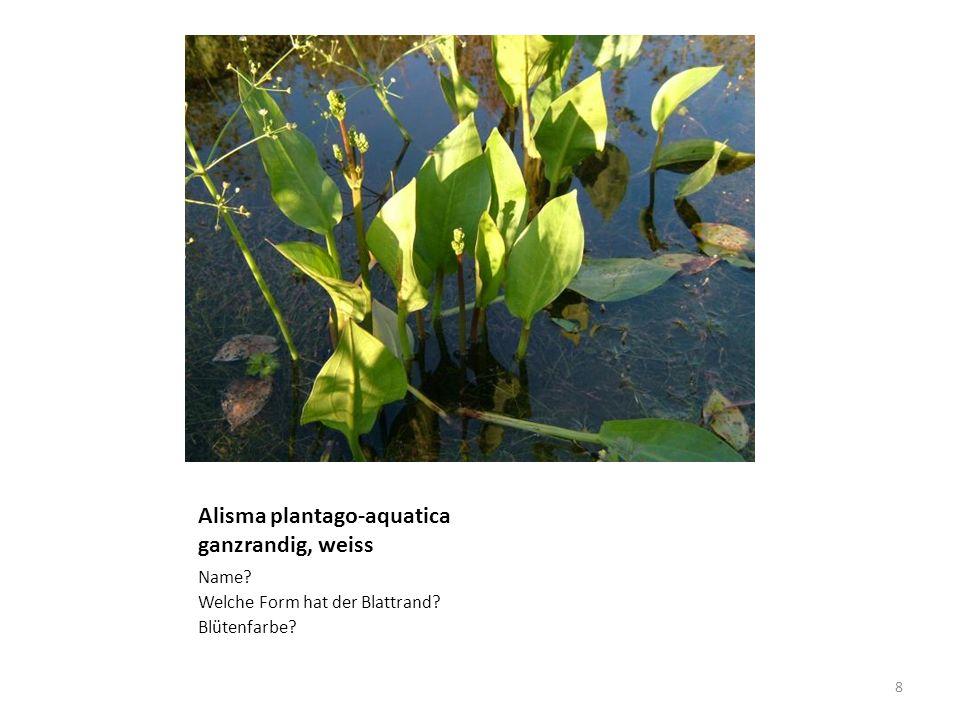 Alisma plantago-aquatica ganzrandig, weiss