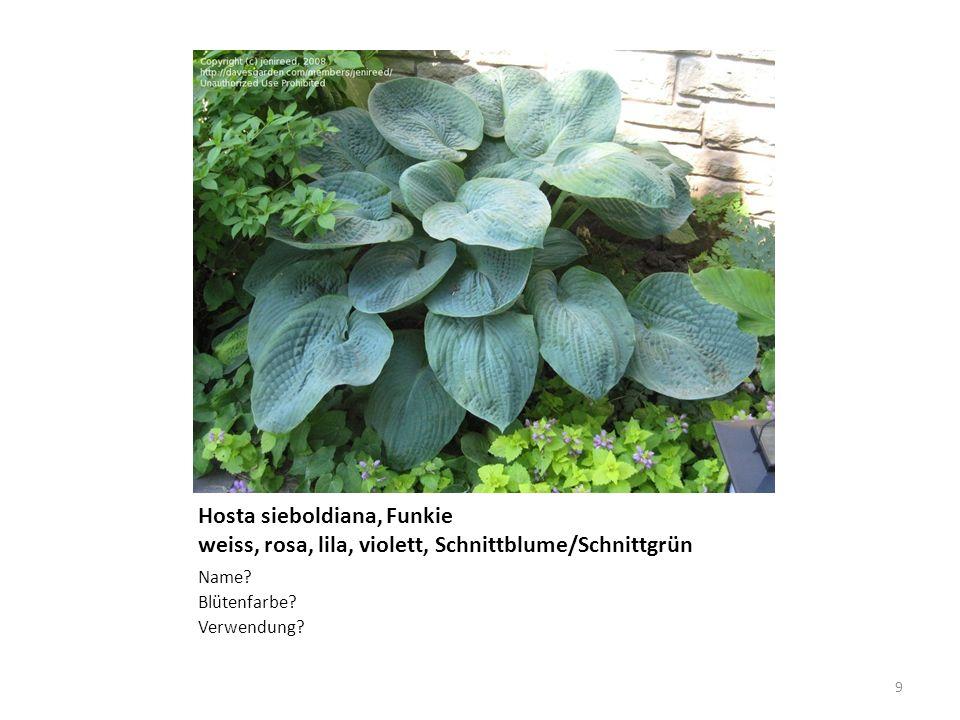 Hosta sieboldiana, Funkie weiss, rosa, lila, violett, Schnittblume/Schnittgrün