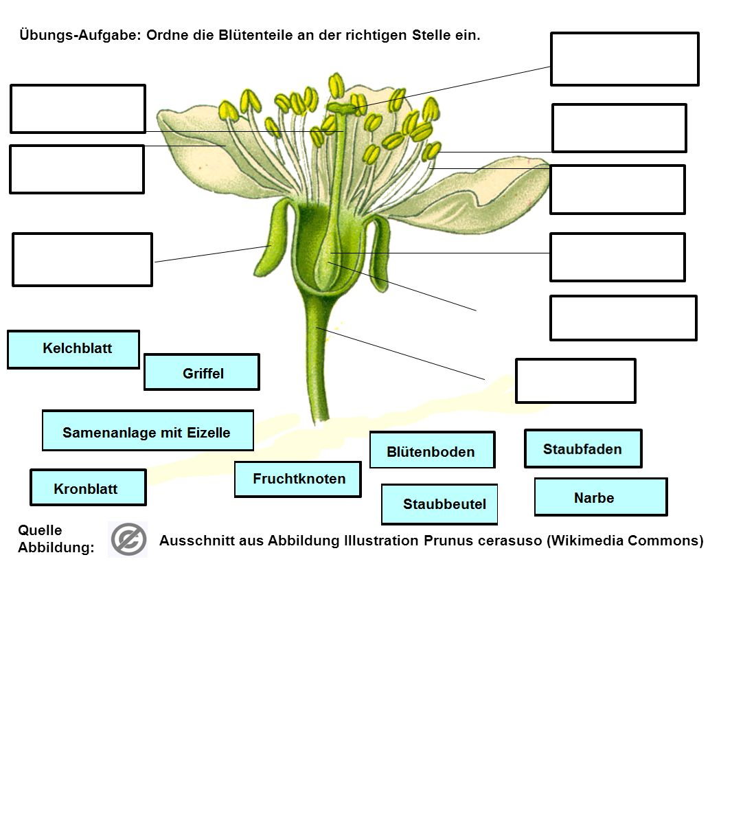 Übungs-Aufgabe: Ordne die Blütenteile an der richtigen Stelle ein.