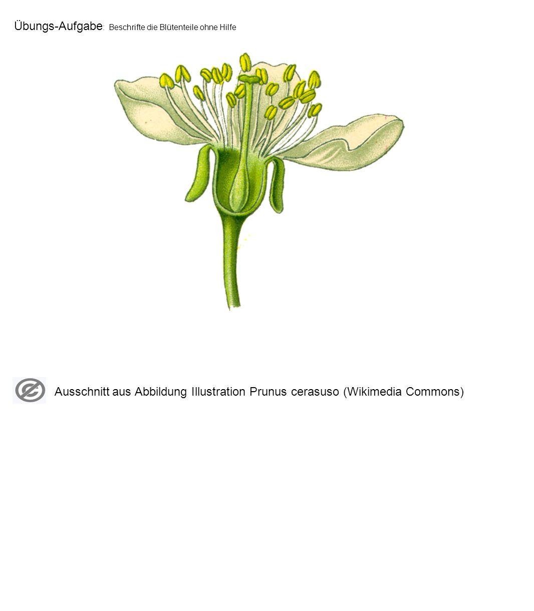 Übungs-Aufgabe: Beschrifte die Blütenteile ohne Hilfe