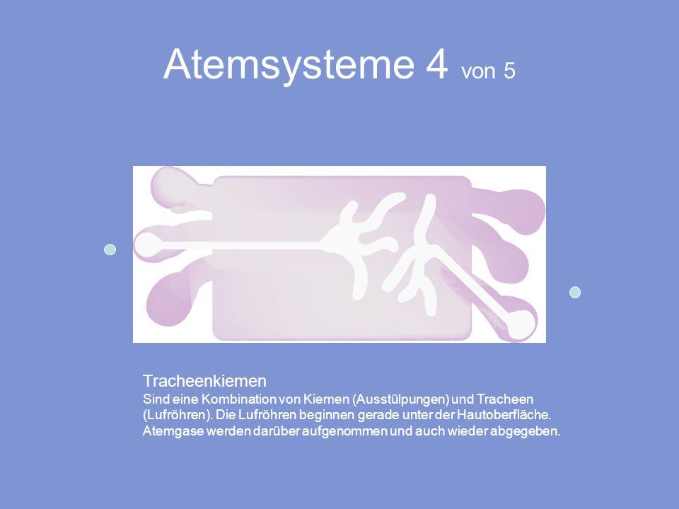Atemsysteme 4 von 5 Tracheenkiemen