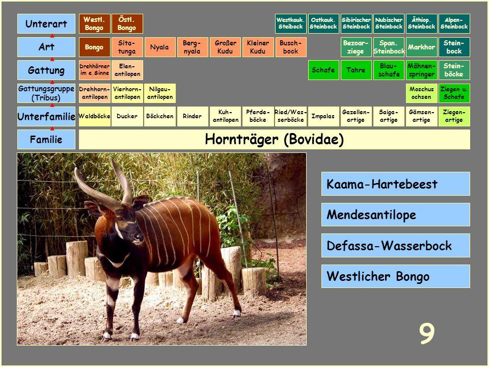 9 Hornträger (Bovidae) Kaama-Hartebeest Mendesantilope
