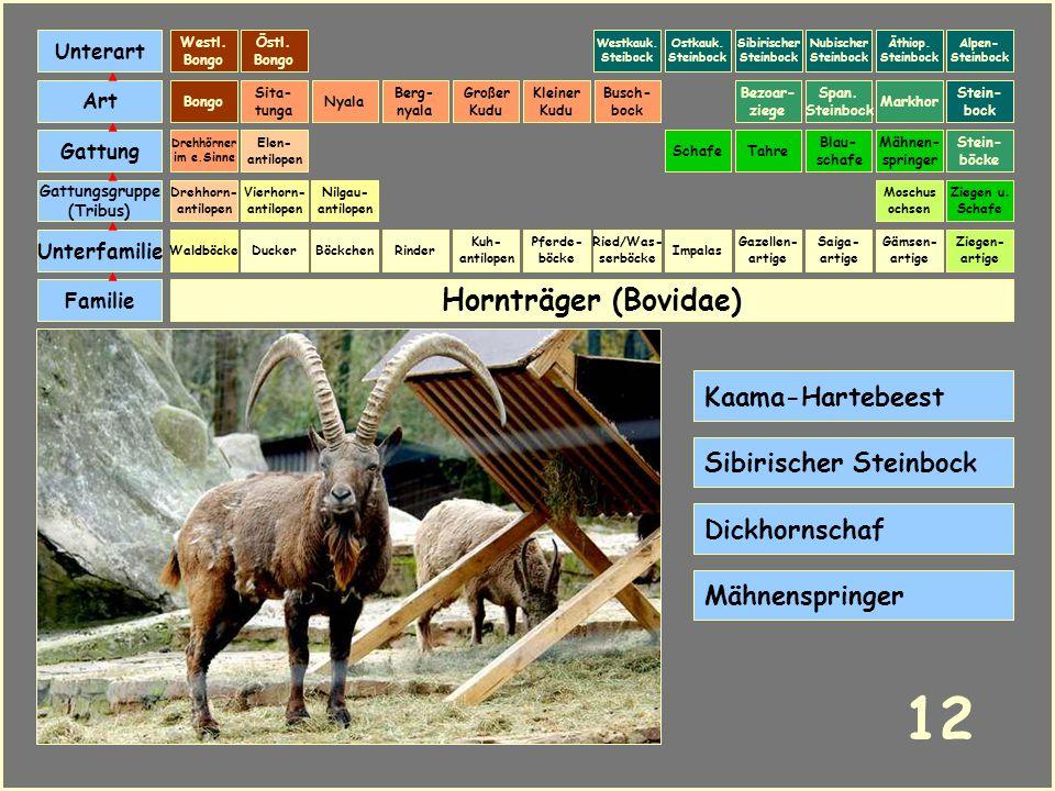 12 Hornträger (Bovidae) Kaama-Hartebeest Sibirischer Steinbock