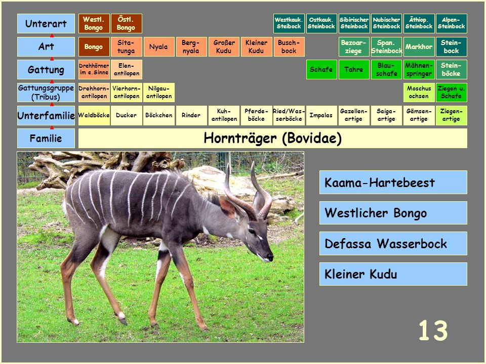 13 Hornträger (Bovidae) Kaama-Hartebeest Westlicher Bongo