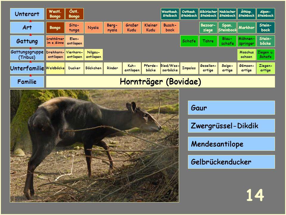14 Hornträger (Bovidae) Gaur Zwergrüssel-Dikdik Mendesantilope