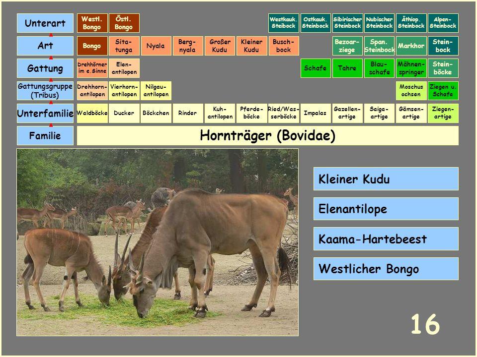 16 Hornträger (Bovidae) Kleiner Kudu Elenantilope Kaama-Hartebeest