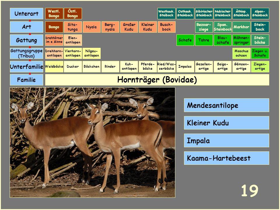 19 Hornträger (Bovidae) Mendesantilope Kleiner Kudu Impala
