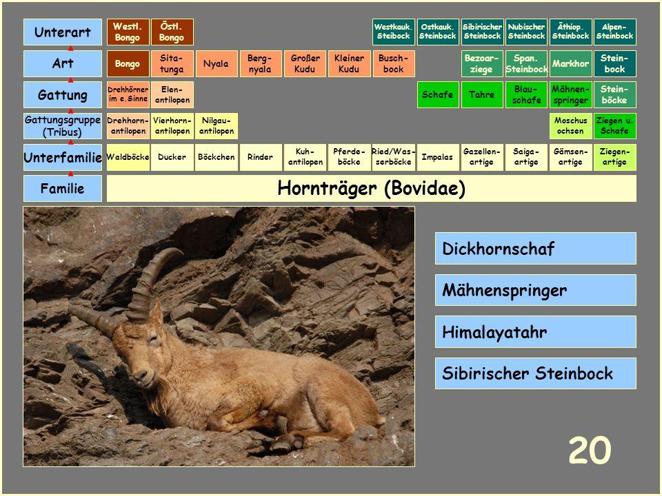 20 Hornträger (Bovidae) Dickhornschaf Mähnenspringer Himalayatahr