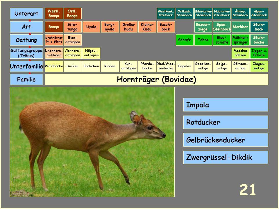 21 Hornträger (Bovidae) Impala Rotducker Gelbrückenducker