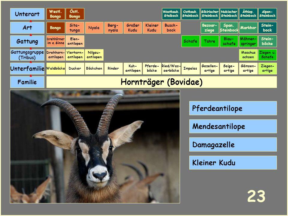 23 Hornträger (Bovidae) Pferdeantilope Mendesantilope Damagazelle