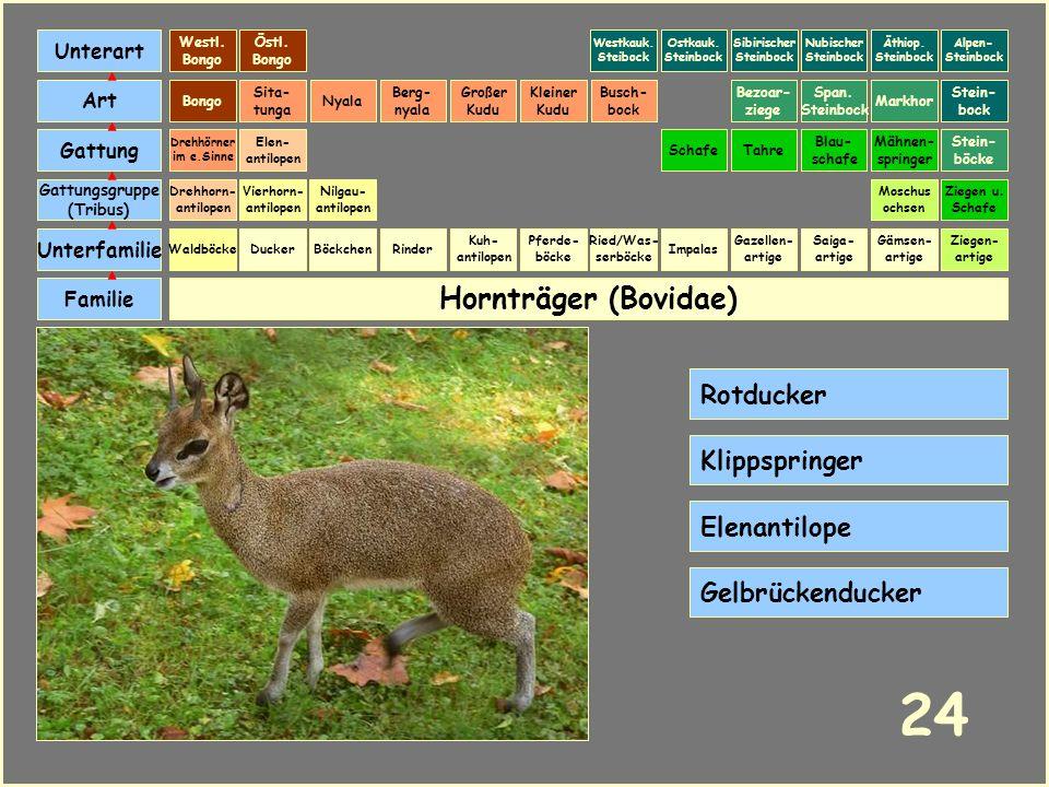 24 Hornträger (Bovidae) Rotducker Klippspringer Elenantilope