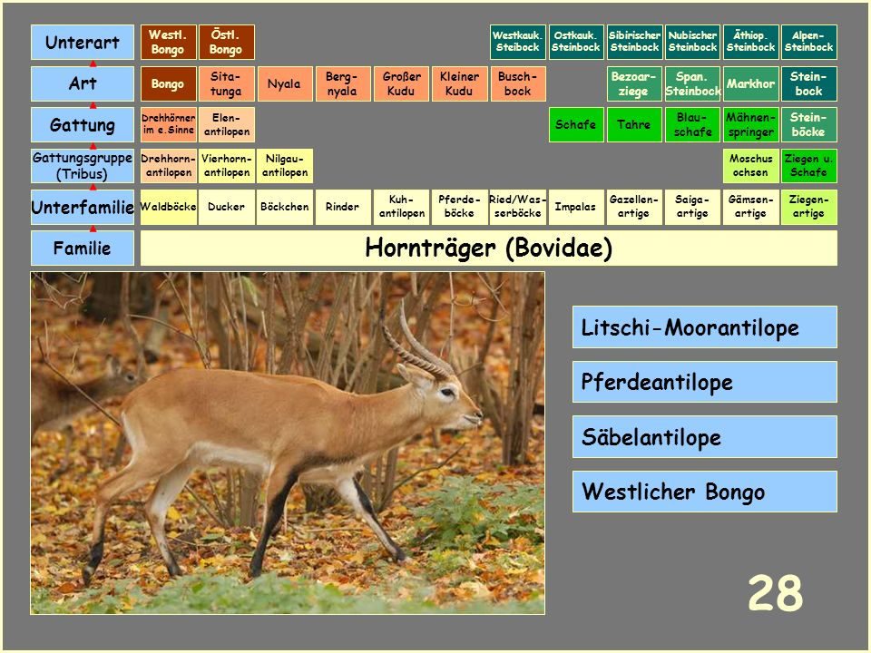28 Hornträger (Bovidae) Litschi-Moorantilope Pferdeantilope