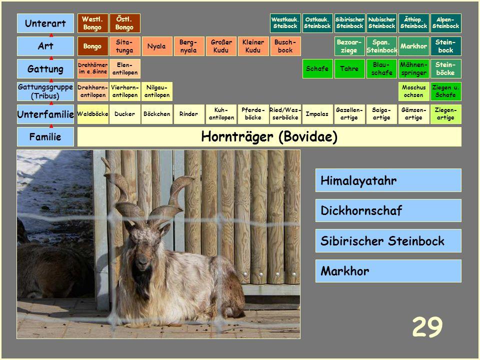 29 Hornträger (Bovidae) Himalayatahr Dickhornschaf