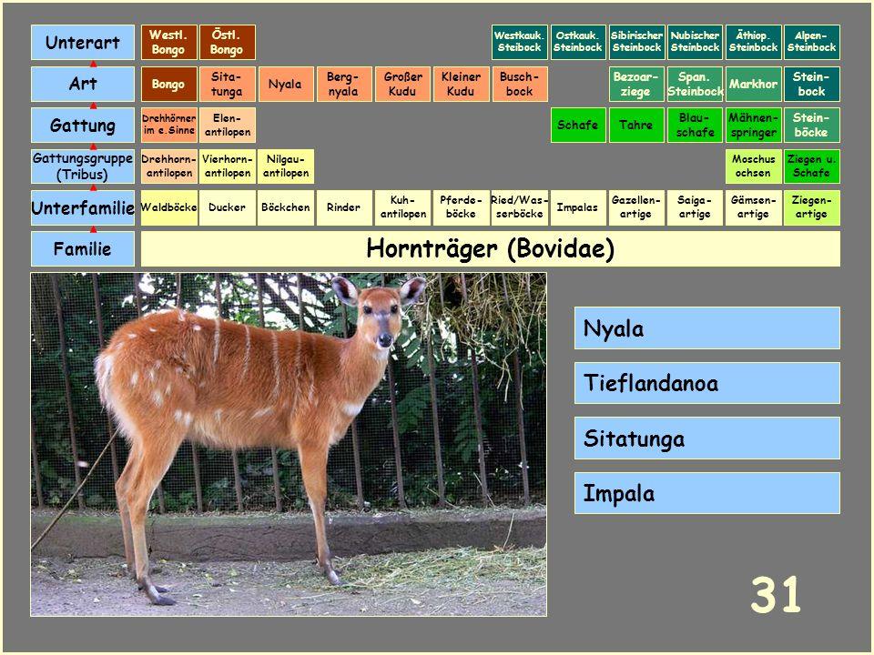31 Hornträger (Bovidae) Nyala Tieflandanoa Sitatunga Impala Unterart
