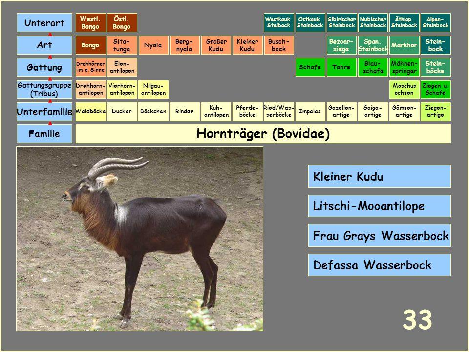33 Hornträger (Bovidae) Kleiner Kudu Litschi-Mooantilope