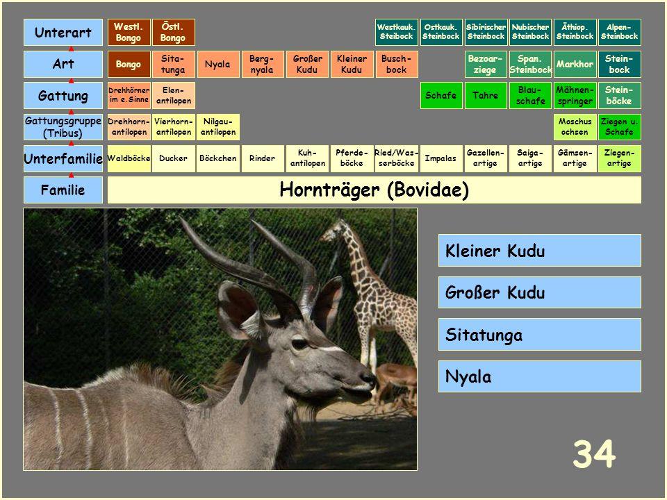 34 Hornträger (Bovidae) Kleiner Kudu Großer Kudu Sitatunga Nyala