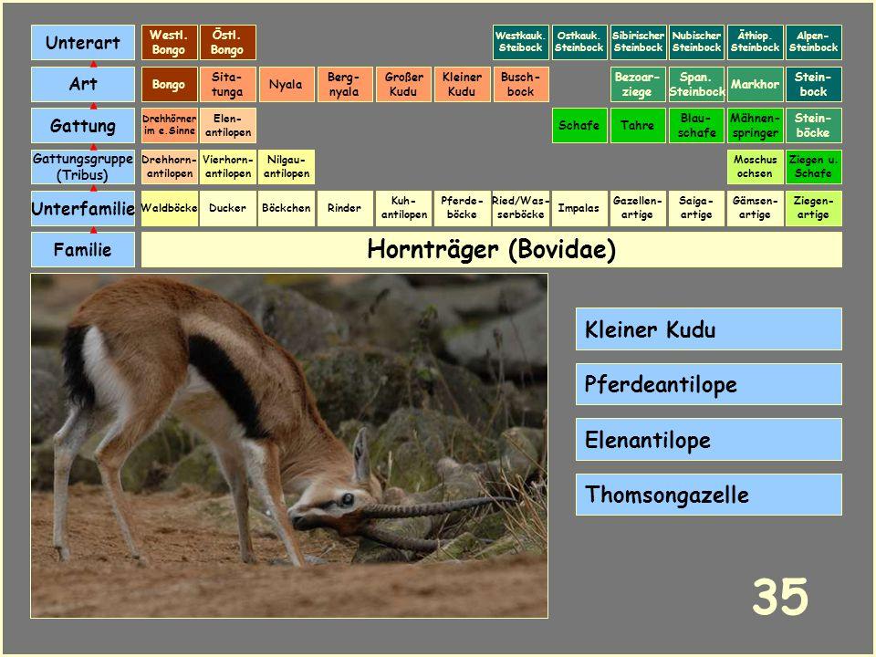 35 Hornträger (Bovidae) Kleiner Kudu Pferdeantilope Elenantilope