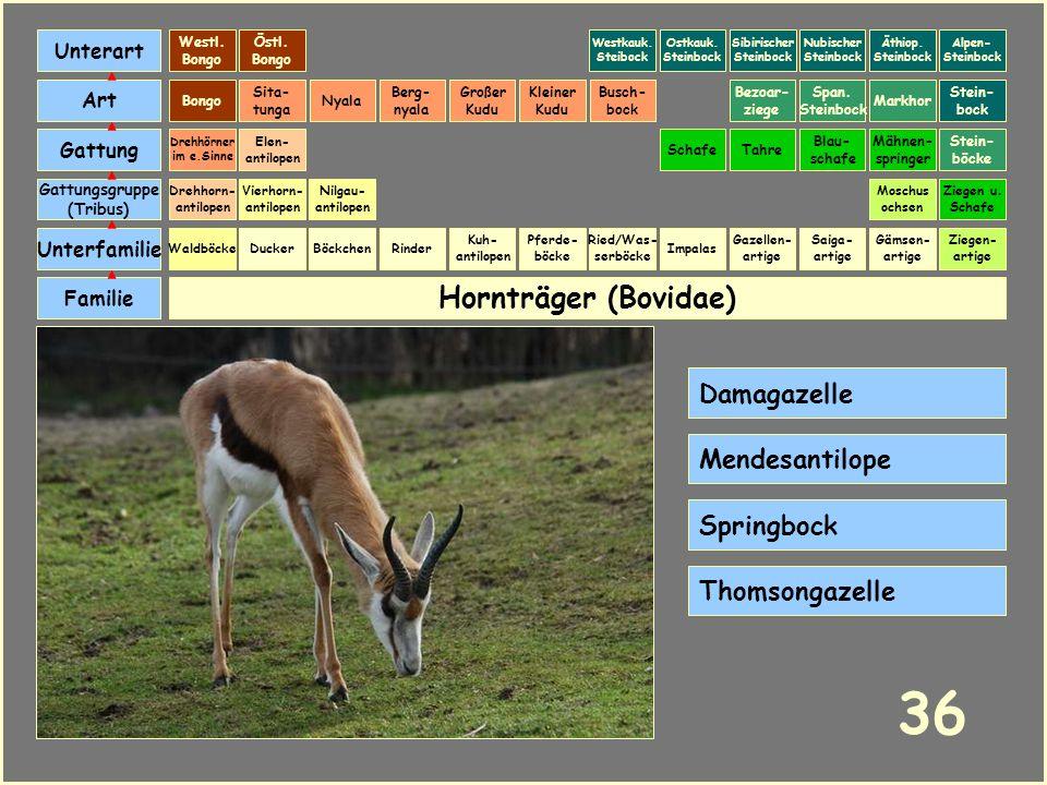 36 Hornträger (Bovidae) Damagazelle Mendesantilope Springbock