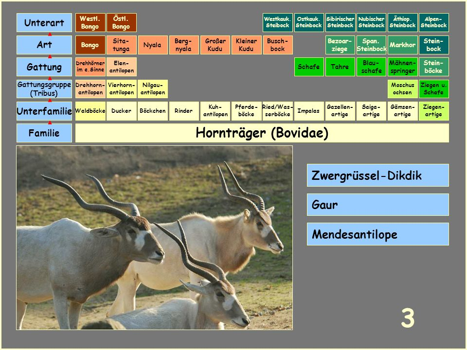 3 Hornträger (Bovidae) Zwergrüssel-Dikdik Gaur Mendesantilope Unterart