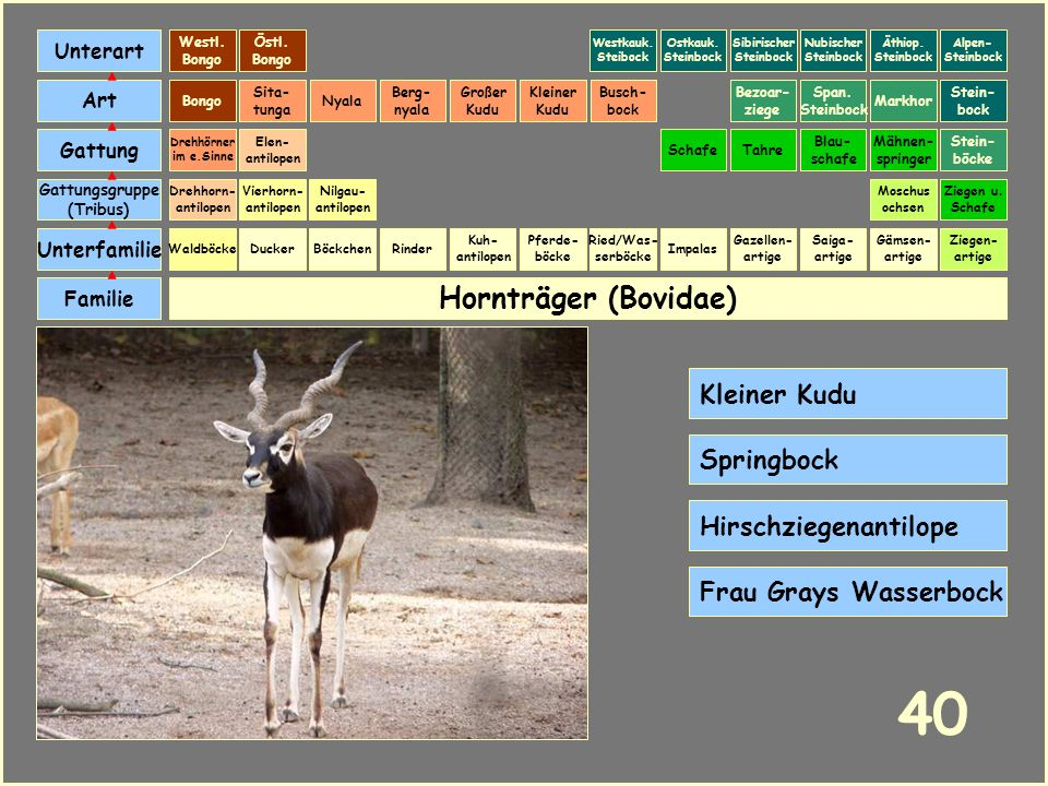 40 Hornträger (Bovidae) Kleiner Kudu Springbock Hirschziegenantilope