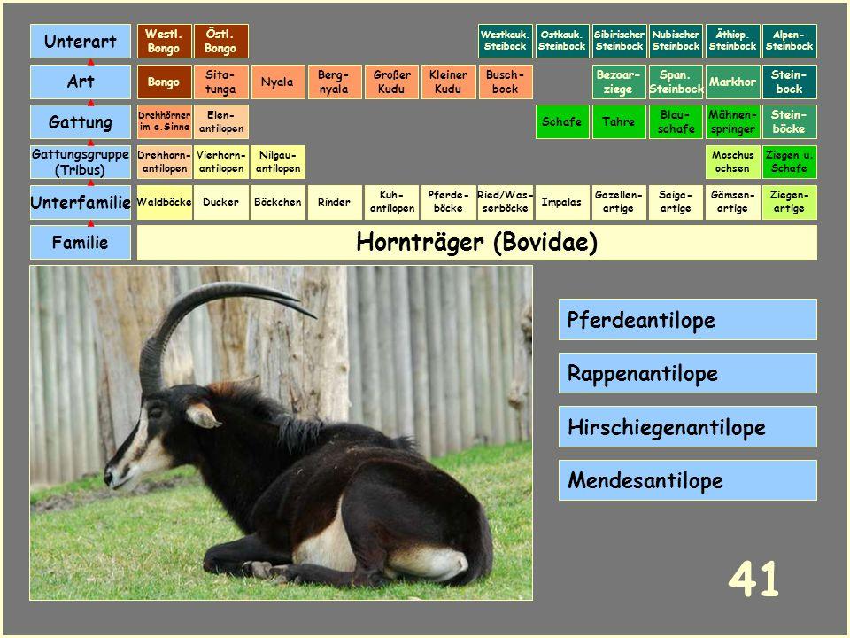41 Hornträger (Bovidae) Pferdeantilope Rappenantilope
